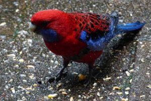 birdlife-springbrook-mountain-1.jpg
