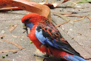 springbrook-mountain-king-parrot-bird.jpg
