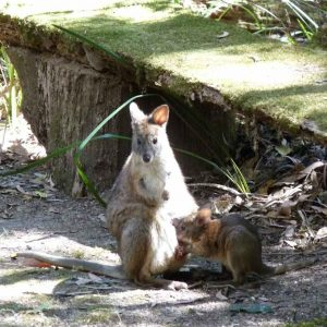 springbrook-mountain-pademelon-joey.jpg