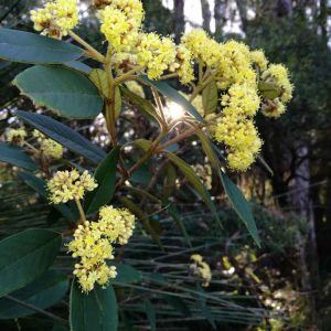 springbrook-mountain-wattle.jpg