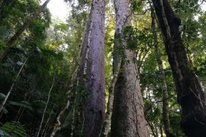 trees-springbrook-mountain-1.jpg